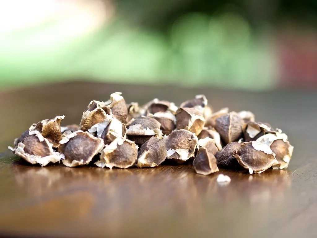 Scooper - Health News: Moringa seed benefits and side effects