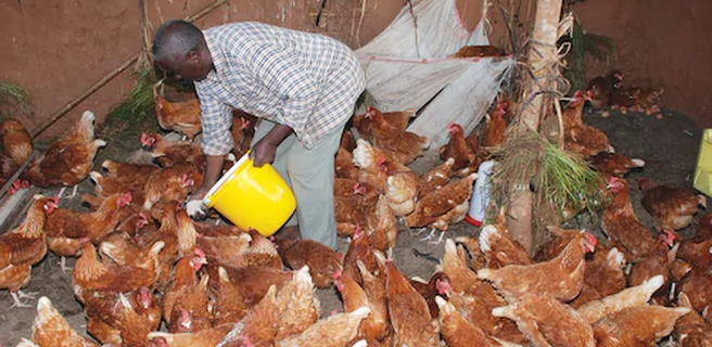 Scooper - Femininity News: How to start poultry farming in Kenya